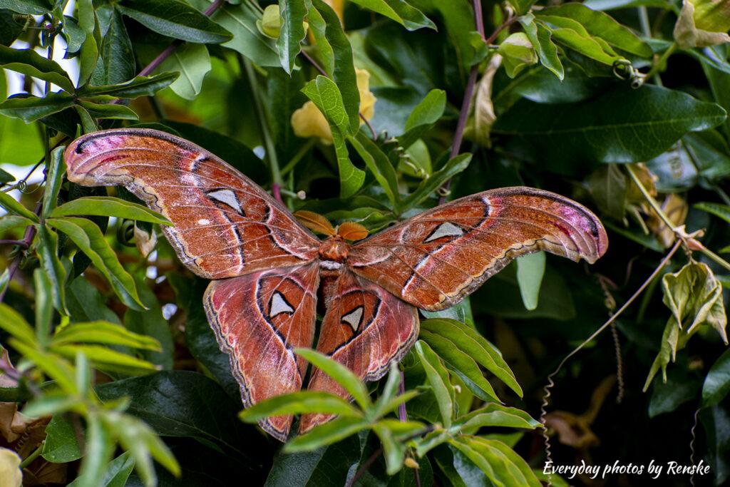 Atlasvlinders in Vlindertuin Philodila